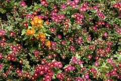Mum flowers Royalty Free Stock Photo