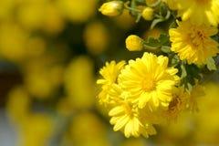 Mum flowers Stock Images