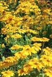 Mum flowers Stock Image