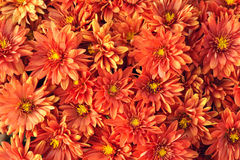 Mum flowers Royalty Free Stock Images