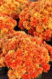Mum flowers Stock Photo