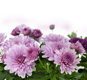 Mum Flowers. Fall Mum Flowers On White Background royalty free stock photo