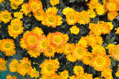 Mum flowers Royalty Free Stock Image