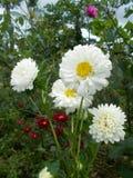 Mum flowers white crysanthemums. White mums flowers crysanthemum on the tree Stock Image
