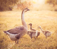 mum goose with babies goose inside farm Royalty Free Stock Photography