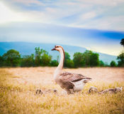 mum goose with babies goose inside farm Stock Image