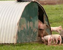 Mum greeting piglets Stock Photos