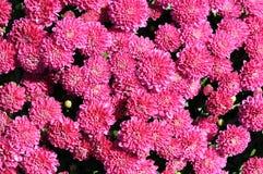 Mum kwiat Zdjęcie Royalty Free