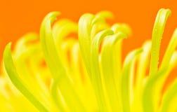 Mum kwiatu płatki z wodnymi kroplami Zdjęcia Royalty Free
