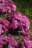 Mum kwiaty Zdjęcie Royalty Free