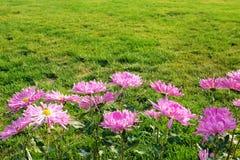 Mum kwiaty Zdjęcia Stock