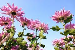 Mum kwiaty Obraz Stock