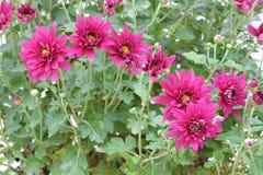 Mum kwiaty Zdjęcie Stock