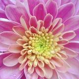 Mum macro Fotografia de Stock Royalty Free