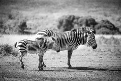 Mum och Babe Zebra Royaltyfri Fotografi