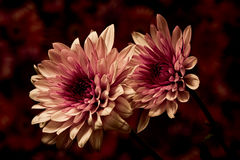 Mum Pair. Floral portrait of a pair of mums on a redish background royalty free stock image