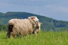 Mum Sheep And Her Baby Lamb Stock Photo