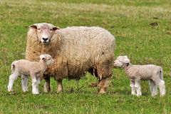 Mum sheep and her baby lambs Royalty Free Stock Photo