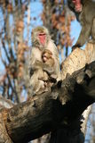 Mum and son. Monkeys Royalty Free Stock Image