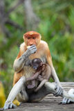Mum and son Proboscis monkeys Stock Photo