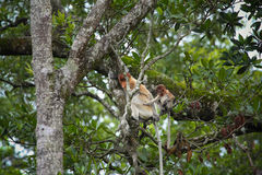 Mum and son Proboscis monkeys Stock Image