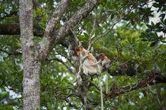 Mum and son Proboscis monkeys Stock Image