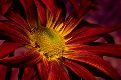 Mum Spread. Floral portrait of a single red Mum Spreading out Stock Image