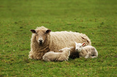 Mum with Twins. New Mother with her Twin Spring Lambs resting - England Royalty Free Stock Photos