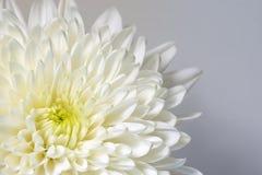 Mum White Flower, White flower. Closeup white mum flower on a white background, macro close up white mum flower, wallpaper, background. White floral Royalty Free Stock Photography