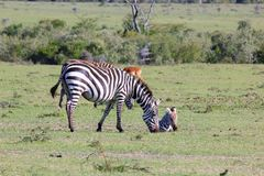 Mum Zebra and her young Stock Photography