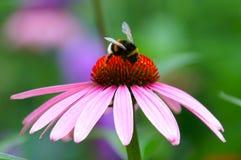 mumbles coneflower pszczoły Zdjęcia Royalty Free