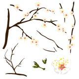 Mume del Prunus - ciruelo chino blanco, flor del albaricoque japonés, Plum Blossom Ilustración del vector Aislado en el fondo bla Imagen de archivo