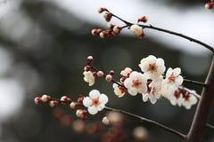Mume f de ˆArmeniaca de ¼ de blossomï de prune simpliciflora T Y ‰ De ¼ de Chenï Image libre de droits