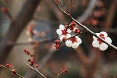 Mume f del ˆArmeniaca del ¼ del blossomï del ciruelo simpliciflora T Y ‰ Del ¼ de Chenï Fotos de archivo libres de regalías