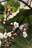 Mume f del ˆArmeniaca del ¼ del blossomï del ciruelo simpliciflora T Y ‰ Del ¼ de Chenï Foto de archivo libre de regalías
