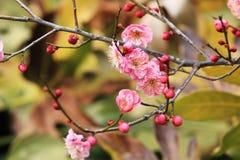 Mumef del ˆArmeniaca del ¼ del blossomï del ciruelo rubriflora T Y ‰ Del ¼ de Chenï Fotos de archivo