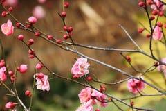 Mumef för ˆArmeniaca för plommonblossomï¼ rubriflora T Y Chenï ¼‰, Royaltyfria Foton