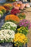 Mumen blommar, och pumpor på höstlantgård marknadsför Royaltyfri Fotografi