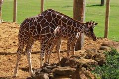 Mumen och behandla som ett barn giraffet Arkivfoto