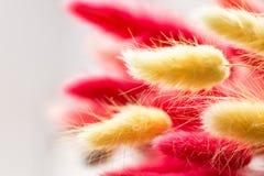 Mumiowate głowy rośliny czerwień i żółty kolor Suszy rośliny dla bukieta z bliska Frontowy widok Makro- fotografia stock