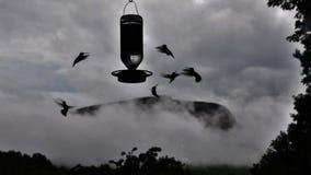 Mummel-fåglar i misten Arkivfoton