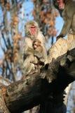 Mummia e figlio. Scimmie Immagine Stock Libera da Diritti