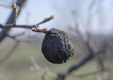 Mummified pear fruit on the tree in spring. The fruit plant diseases. Insecticide fertilizing of fruit