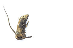Mummified rat  by nature on white background Royalty Free Stock Photography