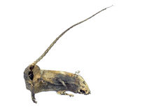 Mummified rat  by nature on white background Stock Image