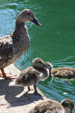 Mummy duck with ducklings. On the pond royalty free stock photos
