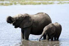 Mummy Elephant and Baby. Having a bath in a natural reserve in Namibia Royalty Free Stock Images