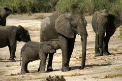 Mummy Elephant and Baby. In a natural reserve in Namibia stock photography