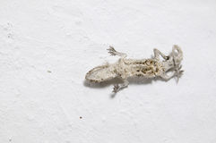 The mummy gecko Royalty Free Stock Image
