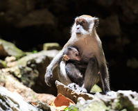 Mummy monkey with a child Royalty Free Stock Images